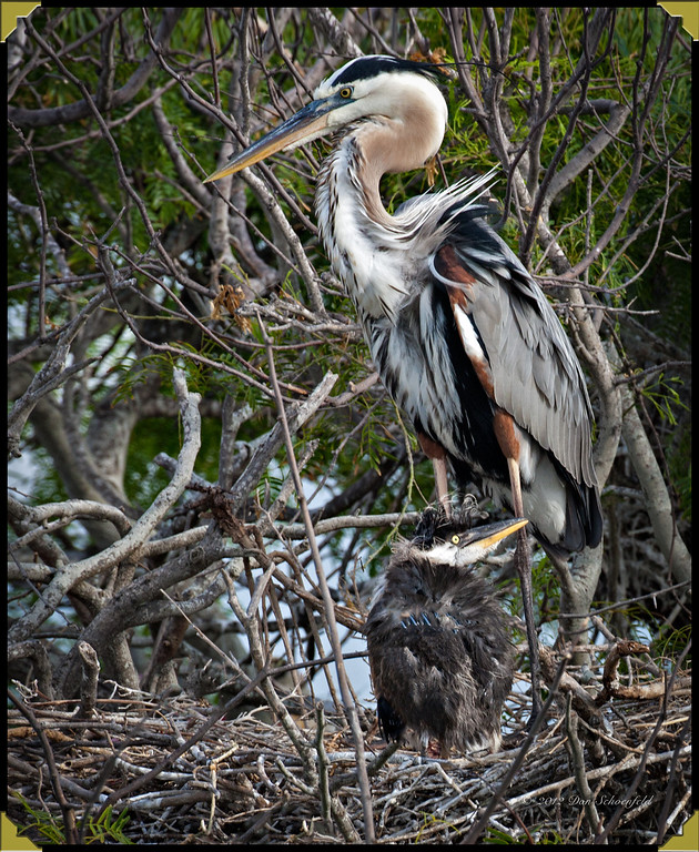 Blue Heron & Chick copy