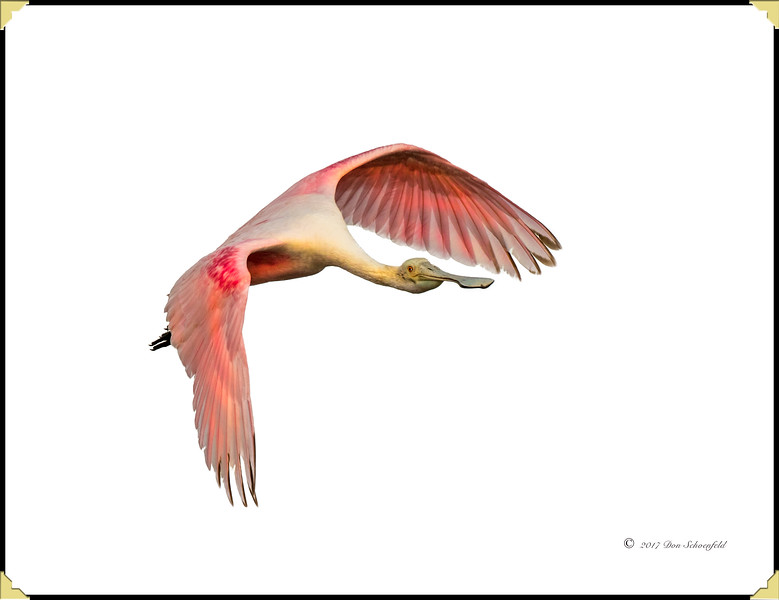 Roseate Flying