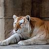 tiger1-8