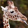 giraffe3-3