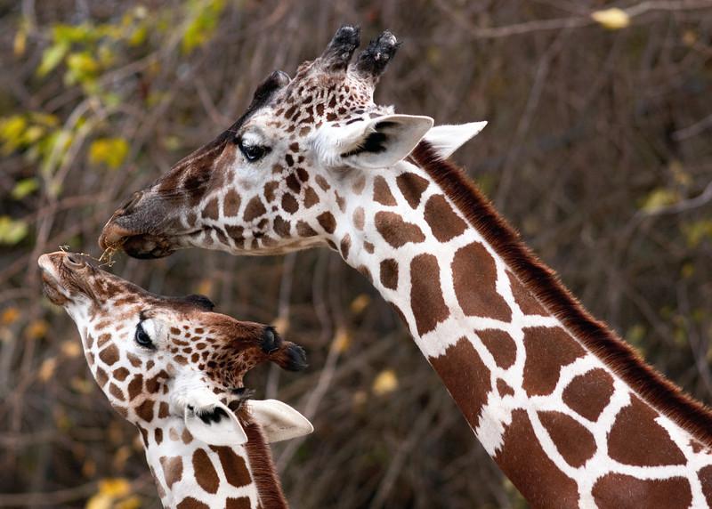 giraffe1-1