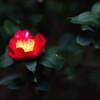 gardenia-7