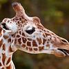 giraffe2-2