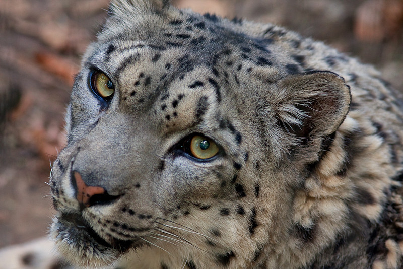 snowleopard2-7