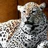 leopard6-1