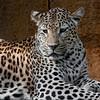 leopard3-1