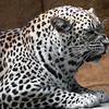 leopard5-8
