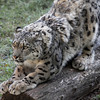 snowleopard1-6