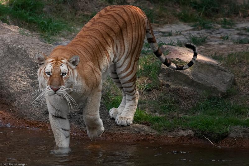 tiger6.jpg