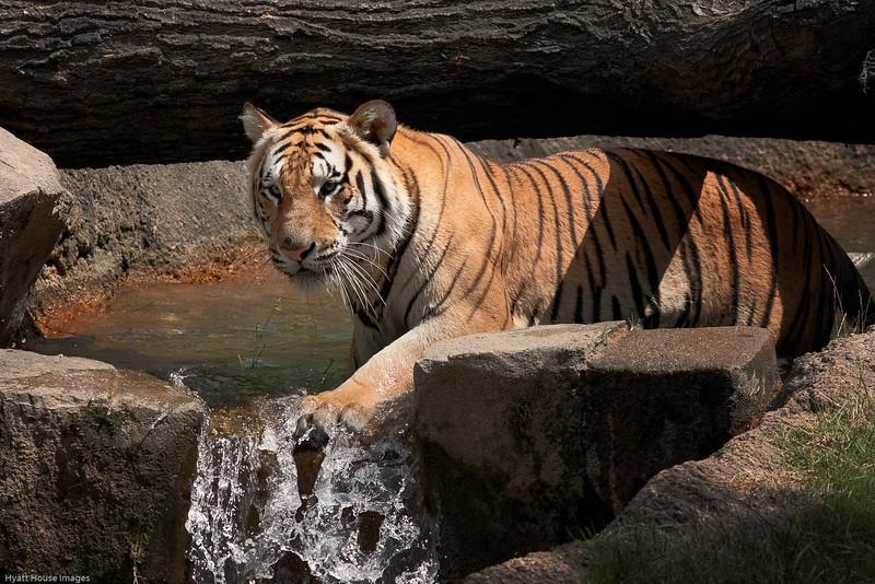 tiger11.jpg