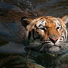 tiger9.jpg
