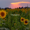 Sunflowers at the Agricenter