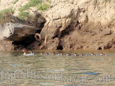 Common merganser duckings.