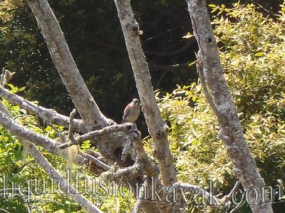 Newly fledged American Kestrel near the nest on the Noyo River.