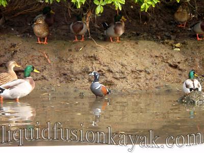 Harlequin Duck.
