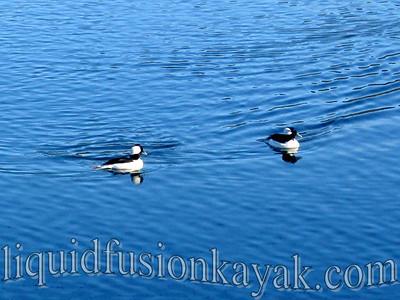 Bufflehead drakes - a winter migratory duck.