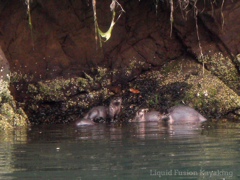 noyo river, river otters, kayak, tour