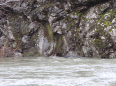 Black bear swimming on the Eel River.
