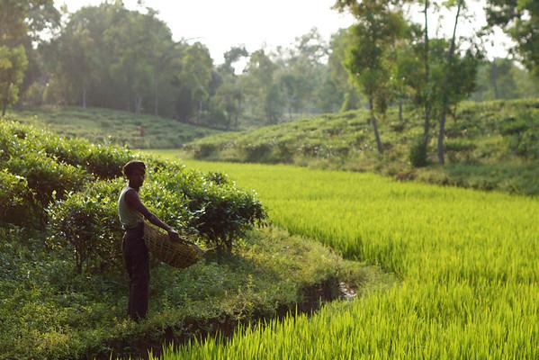 Tearbejder, Srimangal, Bangladesh