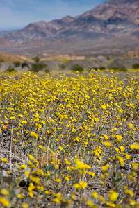 Death Valley Spring Flowers