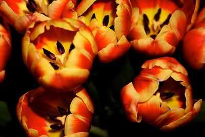 Crosby's Tulips