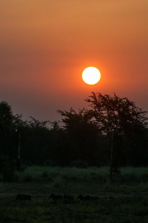 2010-37 Gorongosa - warthogs and the sunset.