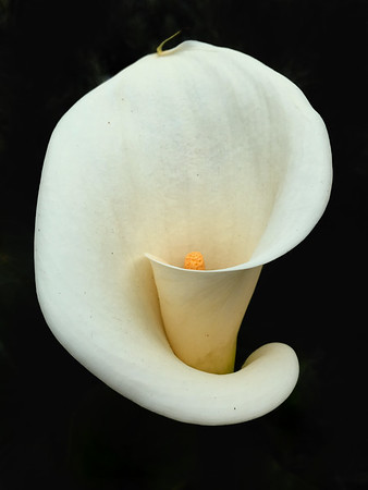 Calla Lily 8x10     Fuji Deep Matte, Floating Frame		$ 48