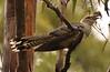 Immature Channel Billed Cuckoo (Storm Bird)