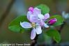 Anna apple blossoms