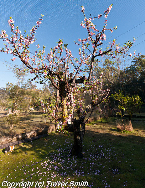 Peach tree covered in blossoms in netted orchard, blossoms on the ground after yesterdays 10mm shower
