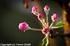 Morning dew on the Dorset Apple flower buds