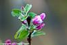 Anna Apple flower buds