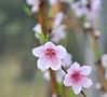 Peach Tree Flowering