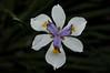 Dietes iridioides (White African Iris)
