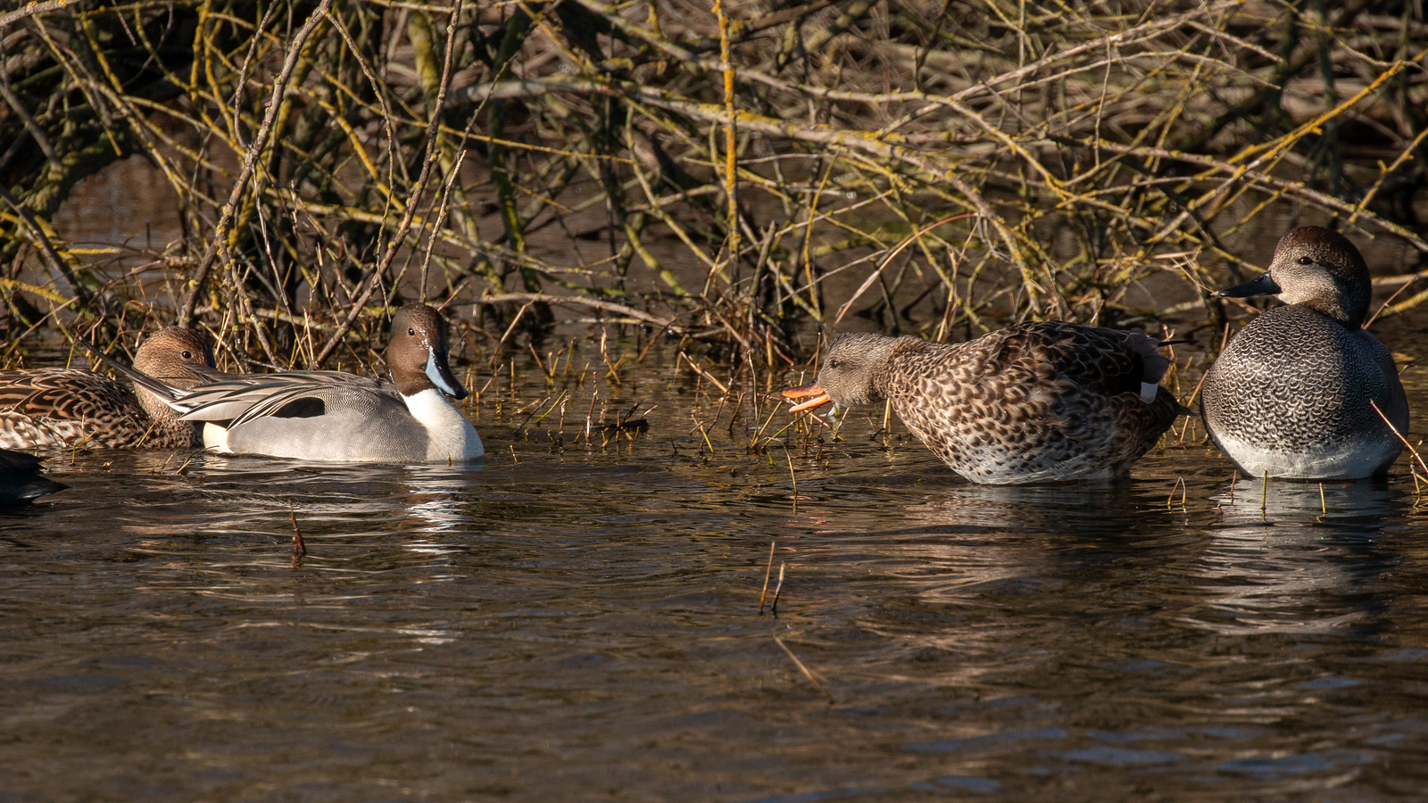 Northern Pintail pair with Gadwall pair