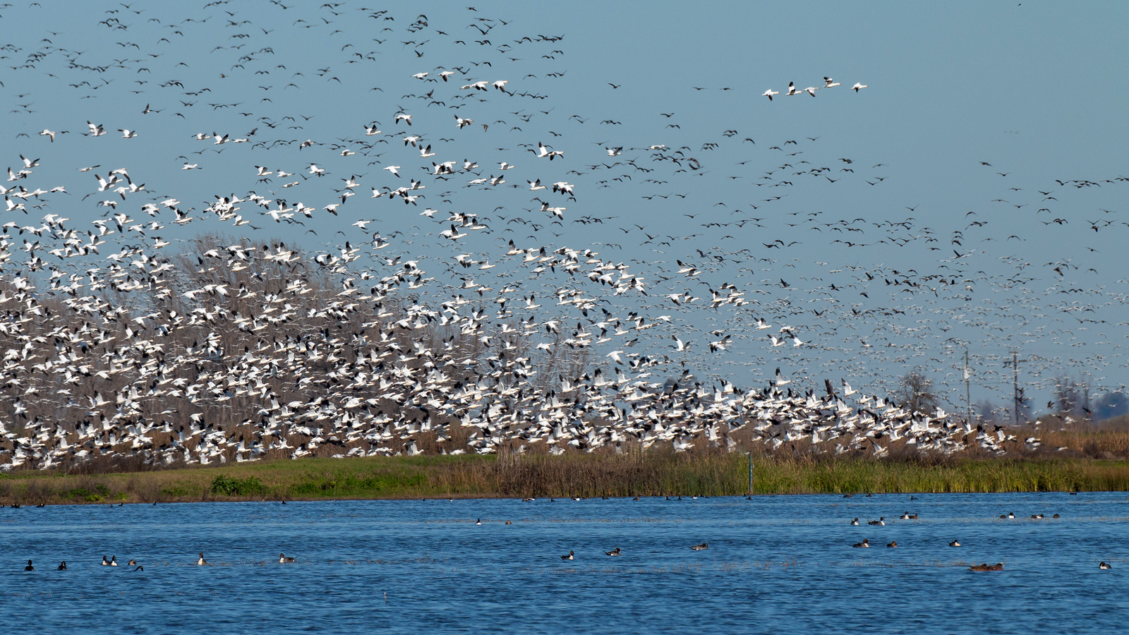 Snow Geese flying over the refuge