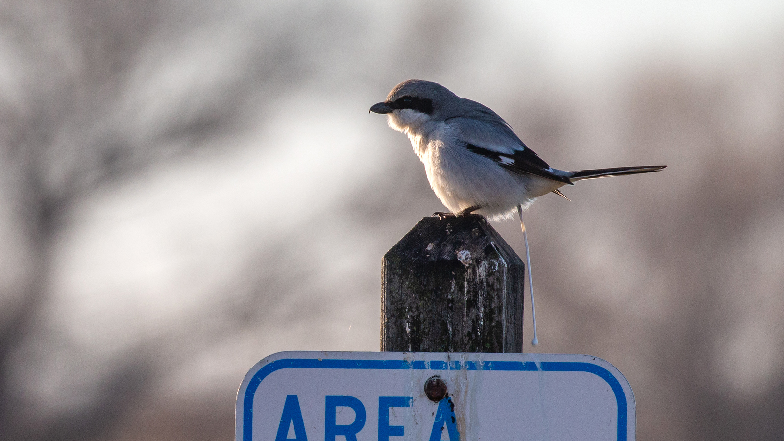 Loggerhead Shrike on refuge sign