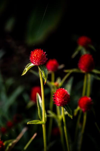 Common globe amaranth