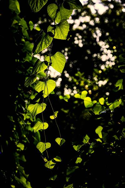Early morning sunlight on Vine