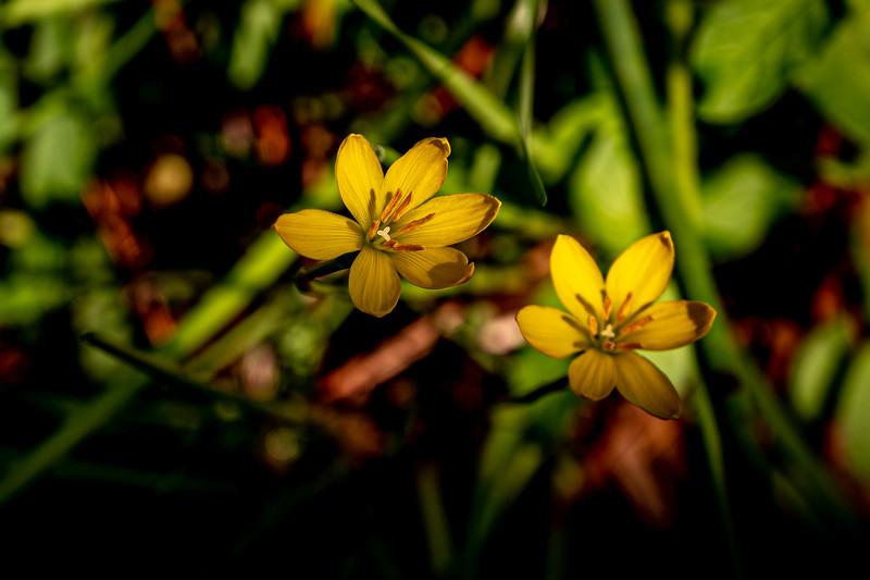 Golden Yellow-eyed grass