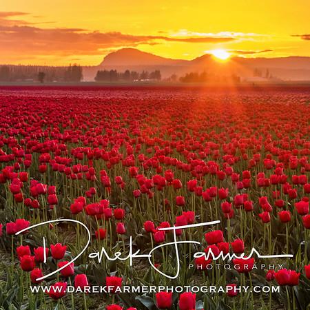 Coaster - Skagit Valley Tulip Field at Sunset