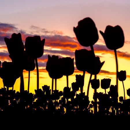 Coaster - Tulip Silhouette at Sunset