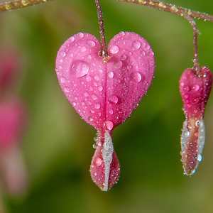 Coaster-Macro Bleeding Heart with water droplets