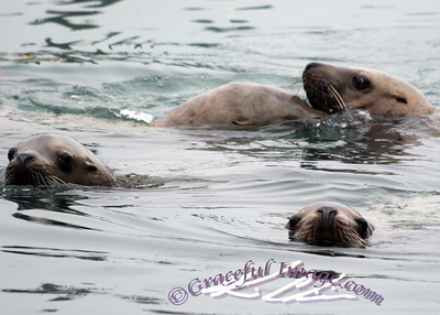 Family Of Sea Lions