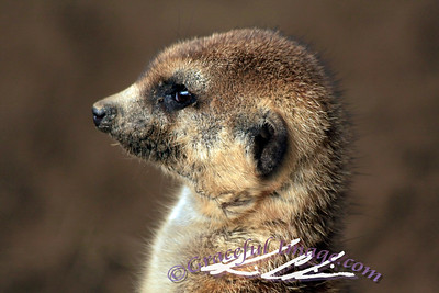 Meerkat keeps gaurd