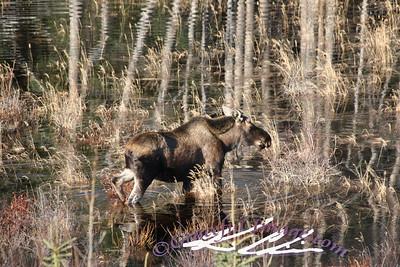 Swampy Moose