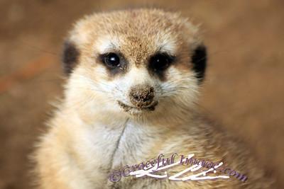 Closeup of a Meerkat