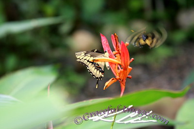 Butterflies in Panama