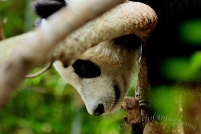Animals- Panda