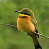 Little bee-eater (Merops pusillus), Masai Mara Game Reserve, Kenya